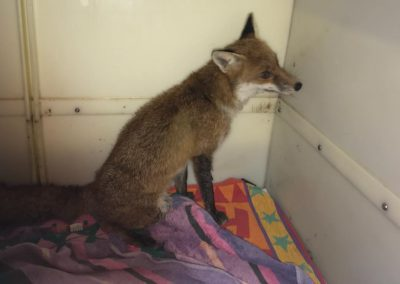 A young vixen rescued from a snare in the Peak District, November 2017