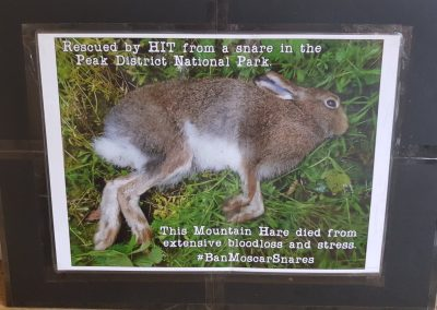 Endangered hares are also victims of snaring in the Peak District and elsewhere