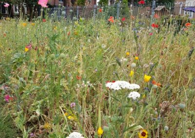 Wildflower meadow, Milton Park, Alsager